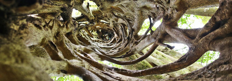 Monteverde strangler tree